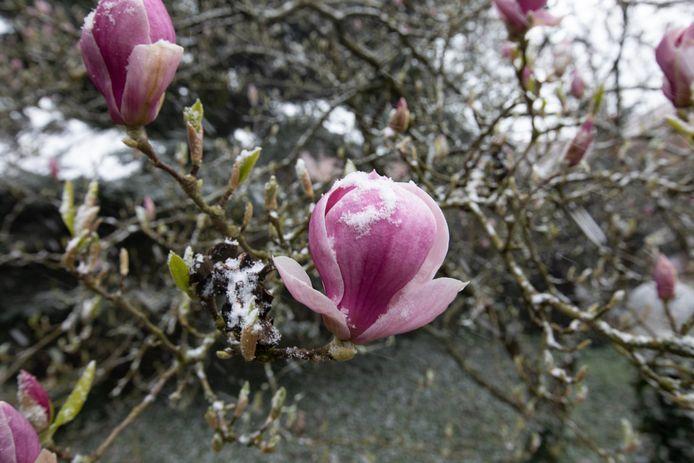 Zelfs de bloesems werden bedekt met een dun laagje sneeuw.