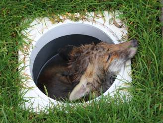 Vosje zit hele nacht klem in zwembadfilter maar vrijwilligers van het Vogelopvangcentrum kunnen het dier redden
