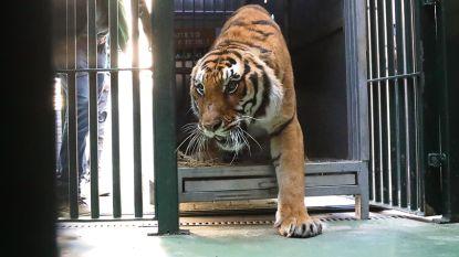 Twee verwaarloosde tijgers opgevangen in Natuurhulpcentrum