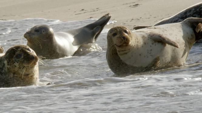 Mysterie opgelost: zeehonden Maasvlakte zijn helemaal niet verdwenen