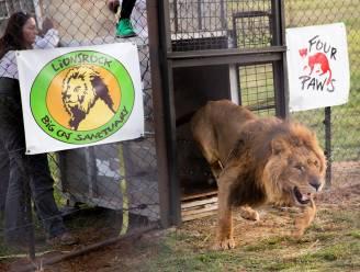 """""""Magisch"""": pure ontlading als geredde leeuwen uit Gazastrook nieuw verblijf in Zuid-Afrika verkennen"""