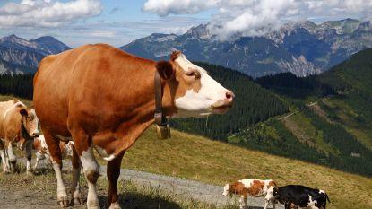 Koeien doden vrouw in Tirol: boer moet 500.000 euro schadevergoeding betalen