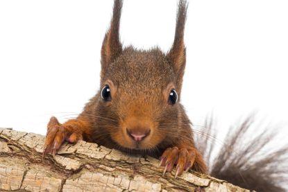 Gezocht: 5.000 Britten om grijze eekhoorn uit te roeien