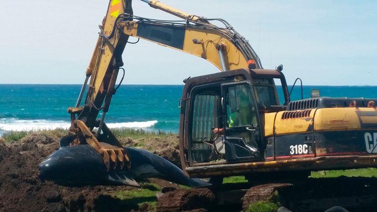 Een walvis wordt begraven op Chatham Island. Beeld AP