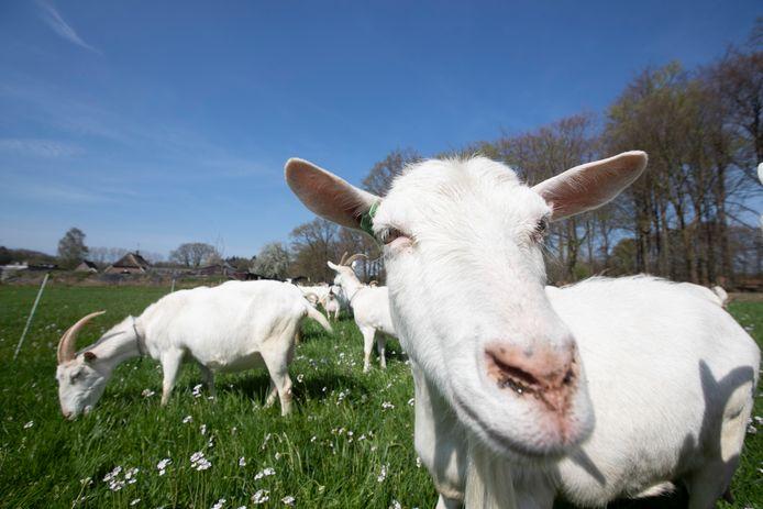 Meierijstad staat nu alsnog woningbouw toe op locaties nabij geitenbedrijven in Schijndel en Olland.