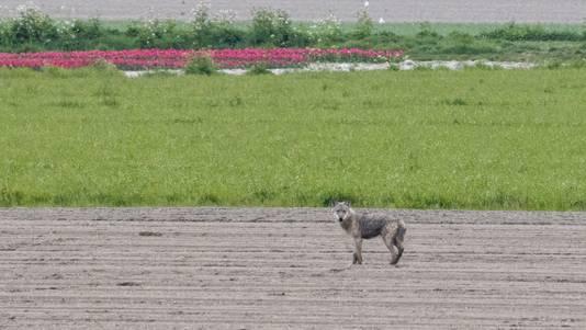 De eerste wolf in West-Brabant werd op 25 april 2021 gefotografeerd bij Dinteloord.