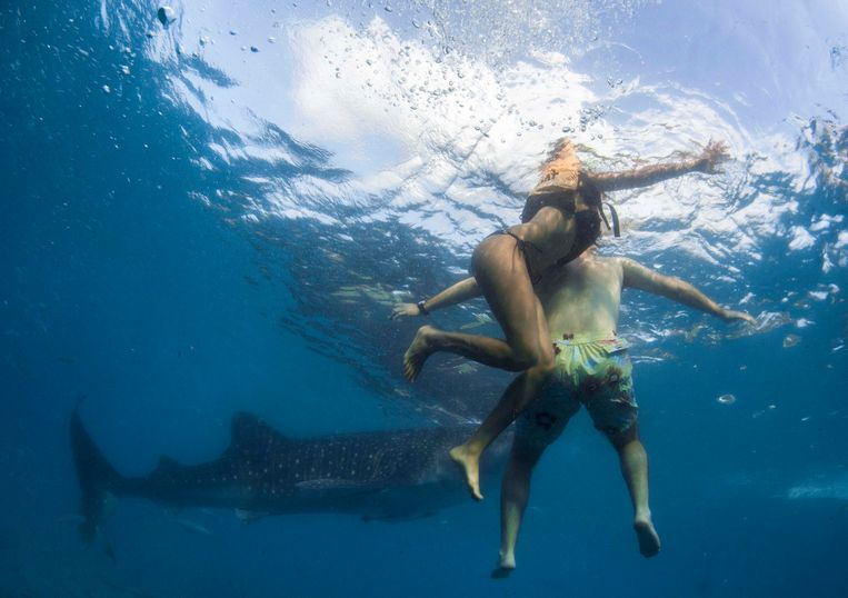 Snorkelers swim next to a whale shark as it approaches a feeder boat off the beach of Tan-awan, Oslob, in the southern Philippines island of Cebu March 1, 2013. Tan-awan, in the southern Philippines island of Cebu, used to be a sleepy village that never saw tourists unless they were lost or in transit. Yet now they flock there by the hundreds - to swim with whale sharks, the world's largest fish. Whale sharks are lured to the Tan-awan coastline of the Oslob district by fishermen who hand feed them small shrimp, drawing divers and snorkelers to see the highly sought-after animals, known as gentle giants of the sea. But the practice has sparked fierce debate on the internet and among biologists, who decry it as unnatural. Picture taken March 1, 2013. REUTERS/David Loh (PHILIPPINES - Tags: SOCIETY ANIMALS ENVIRONMENT TPX IMAGES OF THE DAY)  ATTENTION EDITORS: PICTURE 21 OF 25 FOR PACKAGE 'THE WHALE SHARK FEEDERS' SEARCH 'WHALE LOH' FOR ALL IMAGES Beeld REUTERS