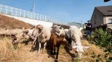 fotoreeks over Spoorwegbeheerder schakelt schapen en geiten in