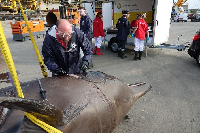 De eerste aangespoelde butskop. Dit bleek een vrouwtje te zijn, naar schatting woog ze 6000 kilo.