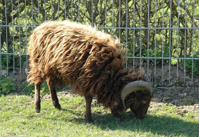 Twee van dit soort schapen zijn midden in de nacht geslacht bij Kinderboerderij De Vijverhof in Olst.