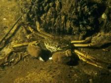 Politie zet achtervolging in om 194 krabben van de pan te redden
