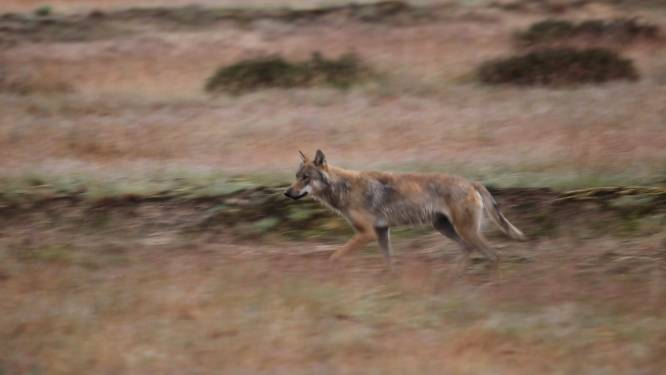 Twee shetlandpony's gedood door wolf in België