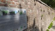 Dorre helmbloemen in muurtuin
