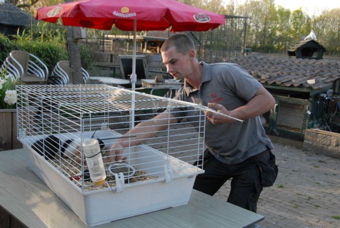 Medebeheerder Joey Jansen bezig met het voeren van cavia's die bij de Bossche Hoeve geleased kunnen worden
