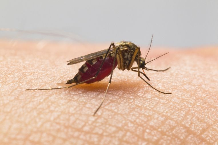 Een mug weet de slaapkamer feilloos te vinden dankzij haar goed ontwikkelde neus: ze bespeurt op een afstand van zeker 15 meter kooldioxide, het gas dat wij uitademen. Beeld thinkstock