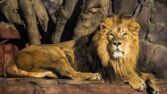 Acht leeuwen in Indiase zoo besmet met Covid-19