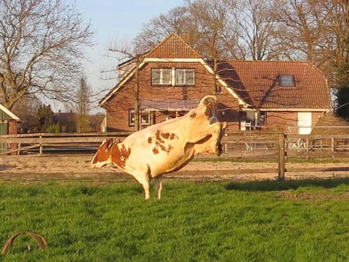 Een dolenthousiaste koe in Markelo bij melkveebedrijf Heilersig. De dieren mogen de wei weer in.
