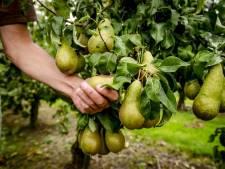 Noodkreet teler Wemeldinge: 45.000 kilo peren moeten weg anders worden ze vernietigd