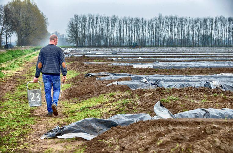 Aspergeteler Antoon Willemssem steekt zijn eerste asperges.  Beeld Flip Franssen HH