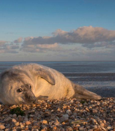 Honden bijten jong zeehondje dood bij Neeltje Jans