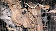 Parket start onderzoek naar horrorstal in Humbeek