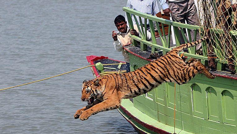 Een geredde tijger wordt vrijgelaten.