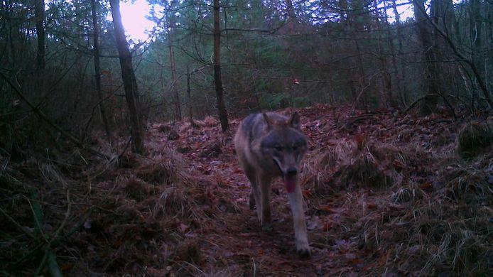 Een jonge wolf op de Veluwe, vastgelegd door de camera van wolvermonitoring.