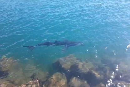 Grote haaien zwemmen zeer dicht langs de kust in Spanje