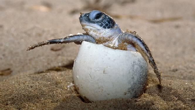 Schildpad kan zelf geslacht bepalen