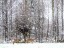 De eerste sneeuw is gevallen. Dat leverde mooie beelden op. Zoals van deze schapen en reeën in het veld van Waardenburg.