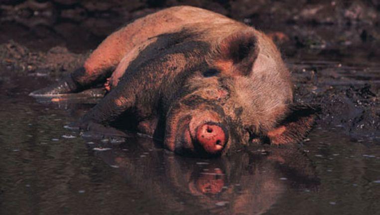 Zoelen is mogelijk belangrijk voor het welzijn van het varken, ook als hij het niet te warm heeft. Beeld